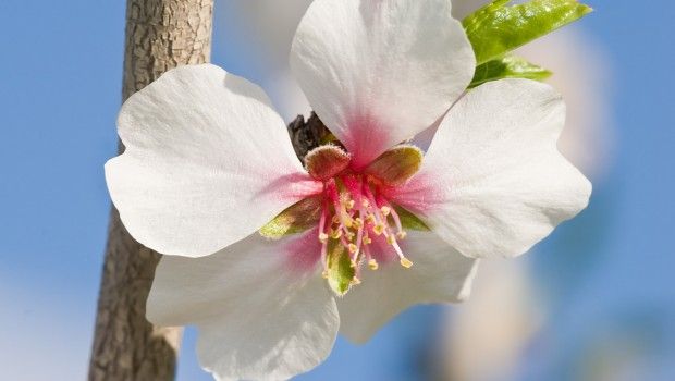 786_Almond_blossom_aug_2007
